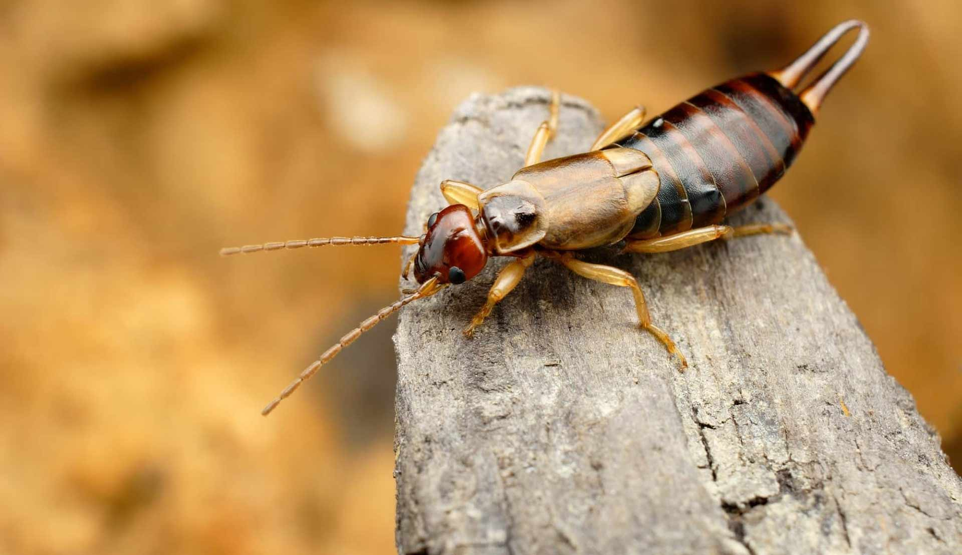 earwigs-bite-or-pinch-feature