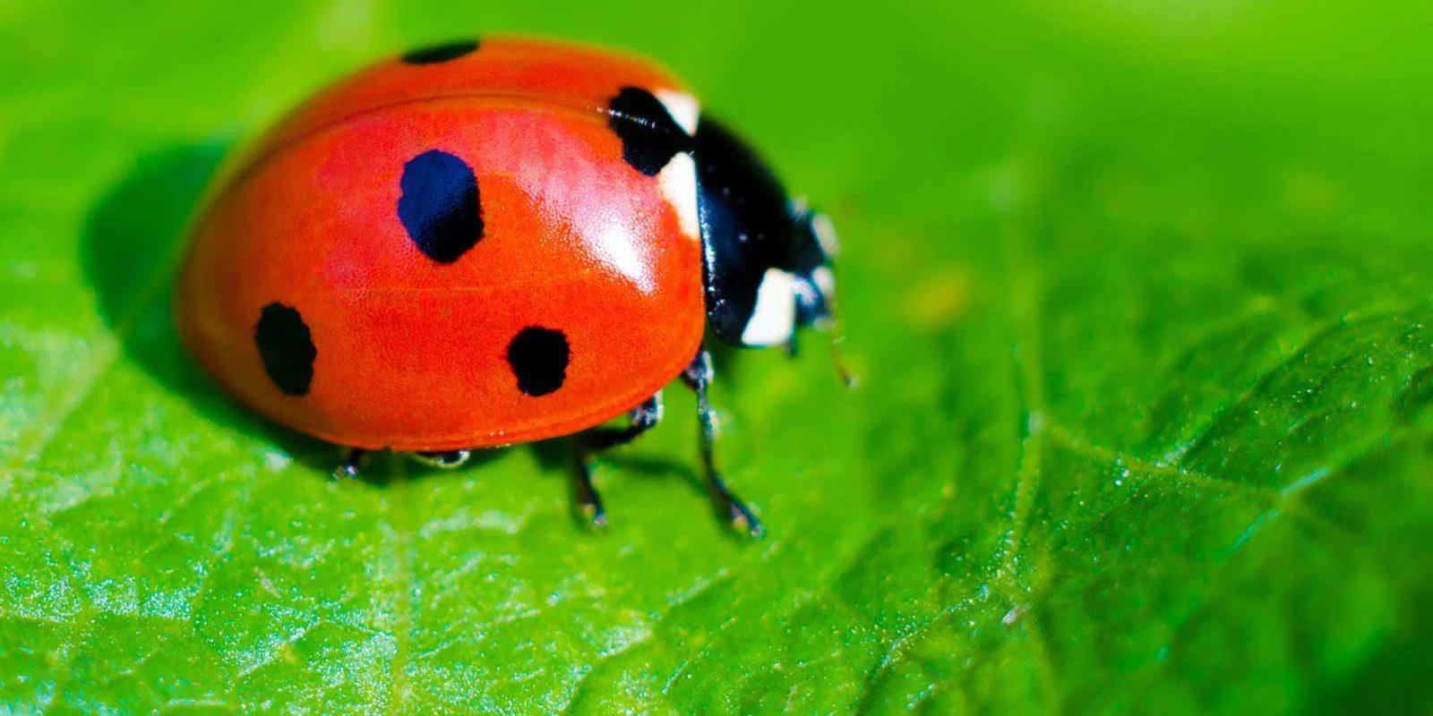Ladybug-on-leaf
